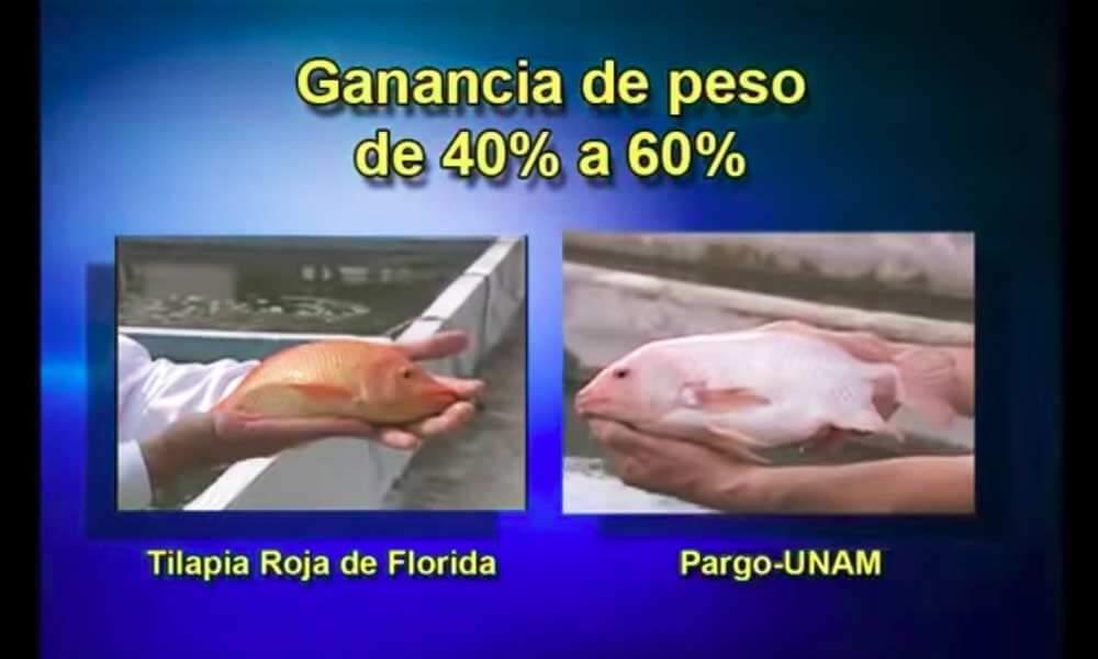 Comparativa del Pez Pargo UNAM con la Tilapia Roja de Florida