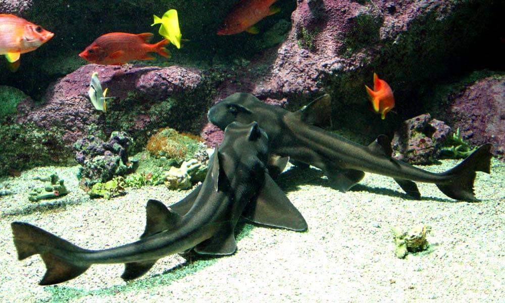 Anticuerpos de tiburón cornudo son usados para prueba rápida de VIH