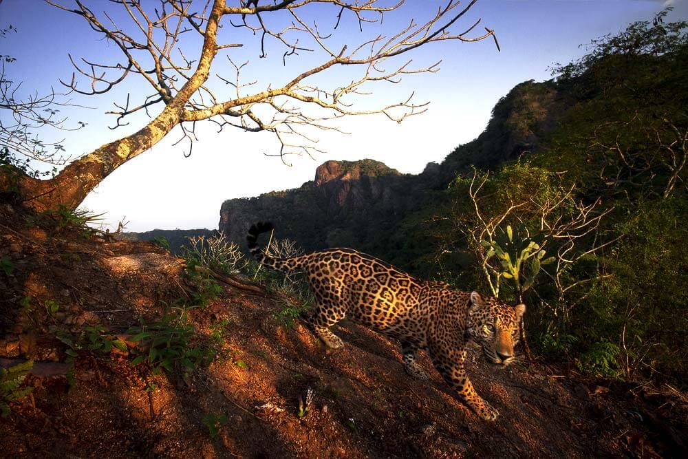 Colaboración de Alejandro Prieto para la Fundación Alianza Jaguar AC